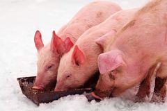 Three pigs eating. Three young domestic pigs are eating on the snow at winter royalty free stock images