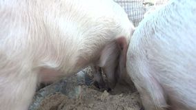 Three Pigs Eating. Three young pigs eat greedily their pappy food in the stable of a farm stock video