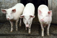 Three pigs. In the farm royalty free stock photography