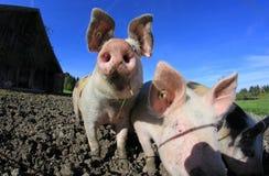 Three pigs Stock Photography