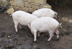 Three pigs are fighting for food Royalty Free Stock Photography