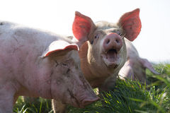 Three pigs in grass. In front of a farm hosue Royalty Free Stock Photos