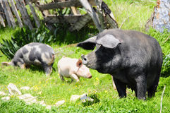 Three pigs on a meadow Stock Photography