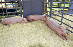 Three pigs in the pen Stock Images