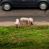 Three pigs on a road royalty free stock photos