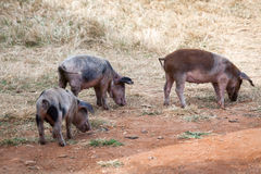 Three pigs Royalty Free Stock Photos