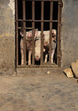 Three pigs sticking out their noses behind bars at a farm. Three pigs sticking out their noses behind bars at a farm in the afternoon, china Royalty Free Stock Photography