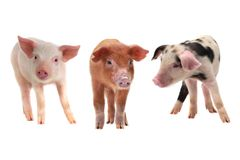 Three pigs. On a white background. studio stock photography
