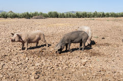 Three pigs Royalty Free Stock Photography