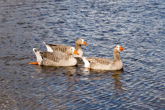 Three Pilgrim Australian Settler Geese Royalty Free Stock Photos