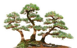 Three pine bonsai trees Royalty Free Stock Images