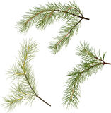 Three pine tree green branches isolated illustration. Illustration with pine branches isolated on white background Royalty Free Stock Photos