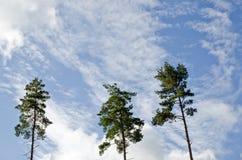Three pine trees Royalty Free Stock Photo