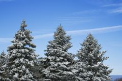 Three pine trees Stock Photo