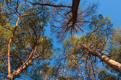 Three pine trees against blue sky Stock Image