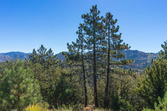 Three Pine Trees in California Stock Images