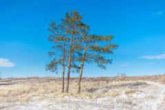 Three pine-trees in the field Royalty Free Stock Photos