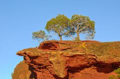 Three pine trees growing on top of red rock. Royalty Free Stock Images