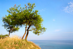 Three pine trees on a hill on background of blue sky and sea Royalty Free Stock Photography