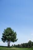 Three pine trees. Royalty Free Stock Photo