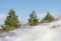 Three pine trees on a snowy hill. Three pine stand on a snowy hill in the woods Stock Images
