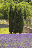 Three pine trees standing in lavender field. Royalty Free Stock Image