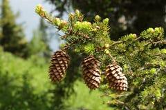 Three pinecones Stock Photo
