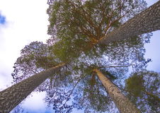 Three pines. Against the sky Stock Images