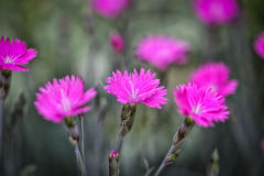Three in Pink. Three beautiful pink flowers together which are called Feuerhexe Dianthus Stock Photography