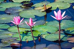Three pink bloosom flowers on a pond. Surrounded by floating leaves, Andaman and Nicobar Islands stock photo