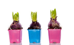 Three pink and blue hyacinths Royalty Free Stock Photo