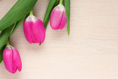 Three pink Bud of a Tulip Royalty Free Stock Photos