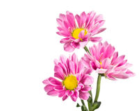 Three pink chrysanthemum flowers Stock Images