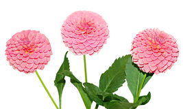 Three pink Dahlia Flower Stock Photography