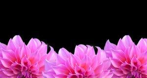 Three pink dahlia Stock Images