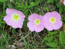 Free Three Pink Evening Primrose Flowers Royalty Free Stock Photography - 63753327