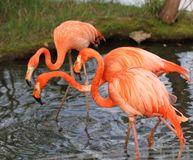 Three pink flamingoes. Walking in the water stock image