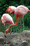 Three pink flamingos Royalty Free Stock Photos