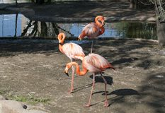 Three pink flamingos. Stand in the water, walking along the shore Royalty Free Stock Photography