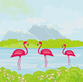 Three pink flamingos in the water Stock Photos