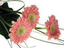 Three pink flowers. Beatiful pink flowers on white background Stock Images