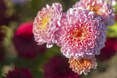Pink flowers lit by the sun on a natural blurred background. royalty free stock photos