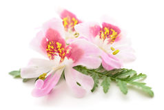 Three pink flowers. Stock Images