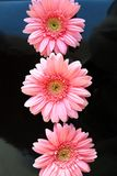 Three pink flowers close up daisy gerbera vertical stock photo