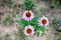 Three pink flowers Royalty Free Stock Photography