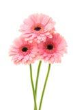 Three pink flowers Stock Photo