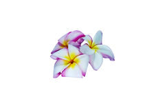 Three pink frangipani on white background. Royalty Free Stock Photography