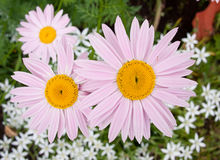 Three pink garden camomiles. Shallow depth-of-field Stock Photography