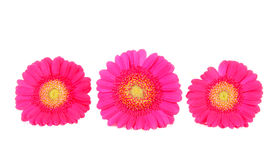 Three pink Gerber flowers in a row Royalty Free Stock Photography