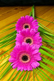 Three pink gerbera on a wooden table Royalty Free Stock Photo